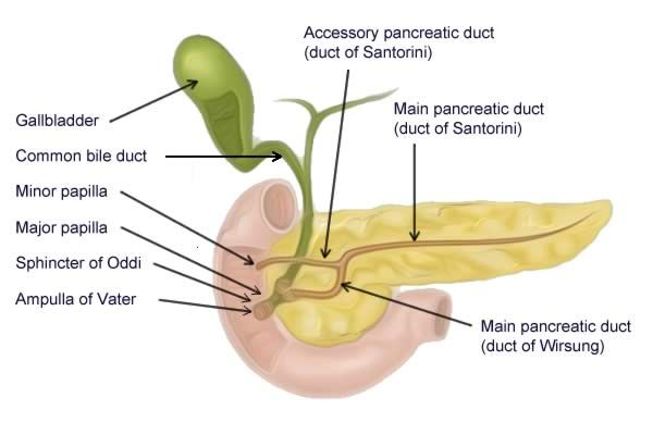 Illustration Of The Pancreatic Duct System Nursing Projects
