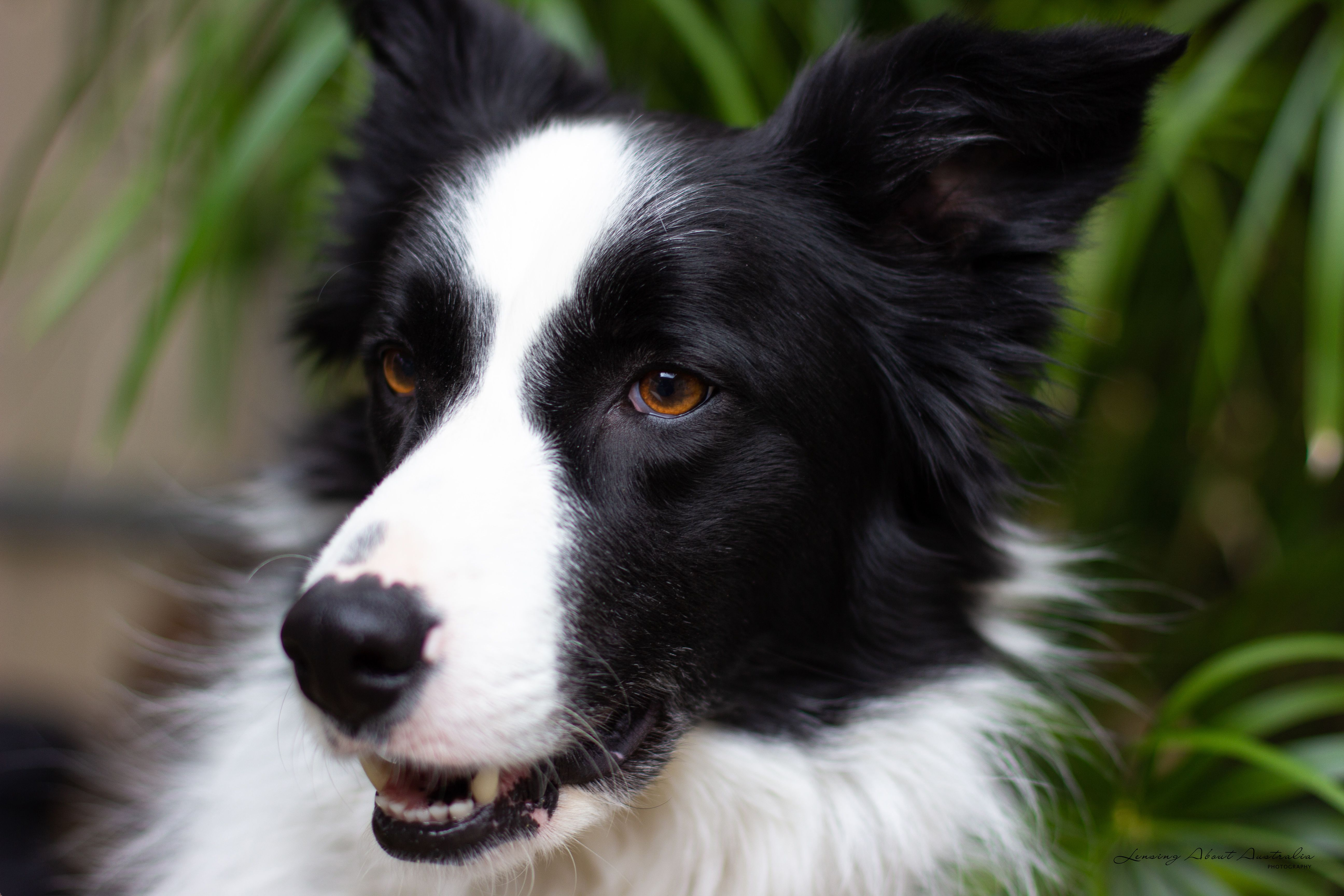 Border Collie Dog Beautiful Black And White Long Haired Dog