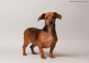 Casey D122089 Is An Adoptable Dachshund Dog In Edina Mn Name
