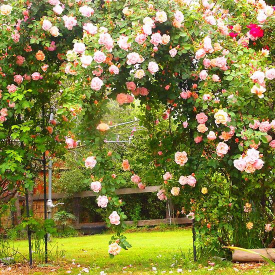 ARCH WAYS IN MY garden | My rose arch proudly showing off the Albertine, Kilmore Vic Aust by ...