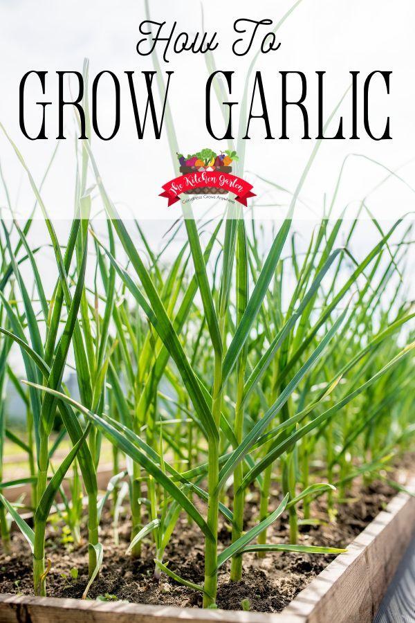 How to Grow Garlic - The Kitchen Garten
