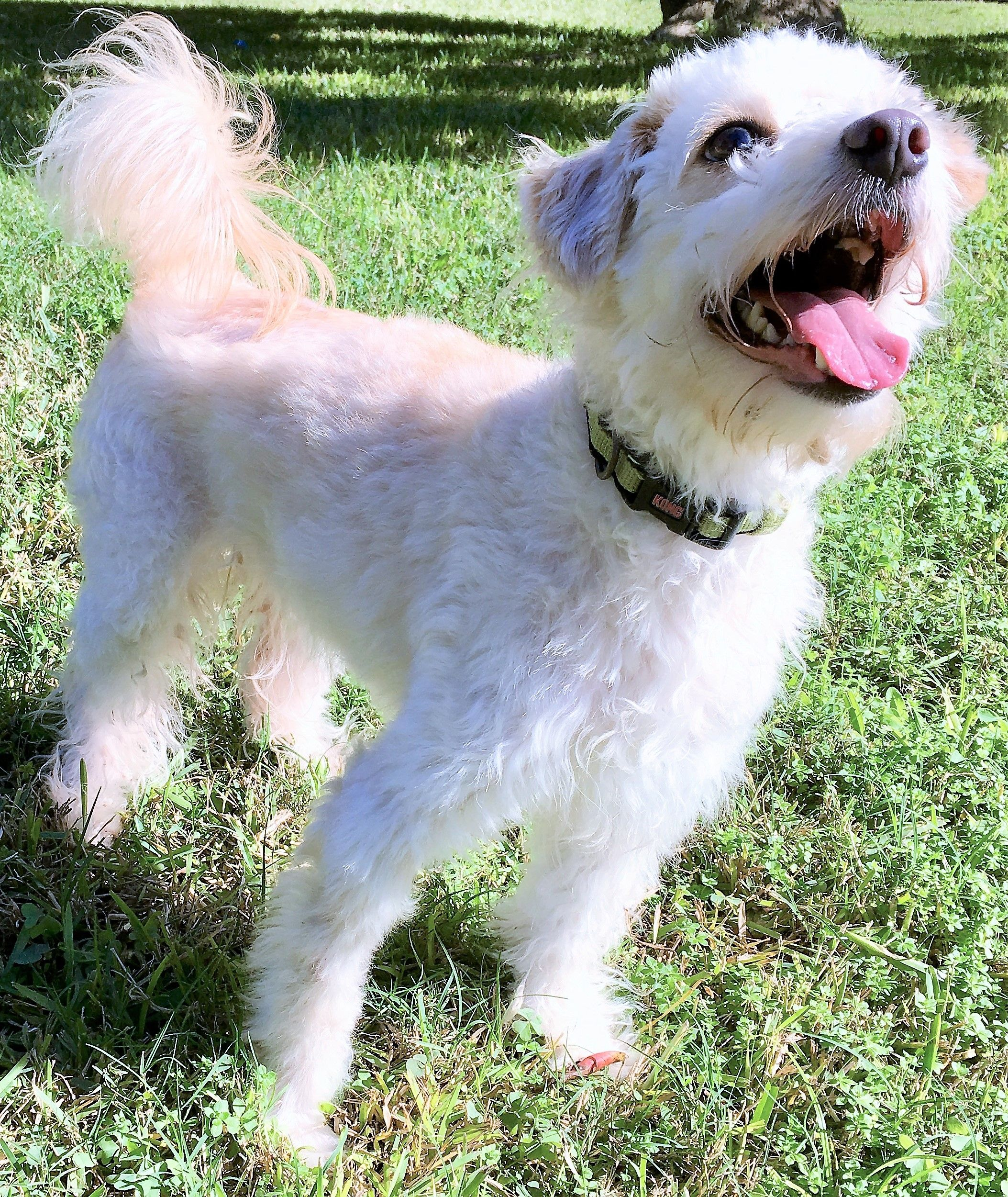 Poodle Miniature Dog For Adoption In Waco Tx Adn 390584 On Puppyfinder Com Gender Female Age Adult Miniature Dogs Dogs Cute Dogs