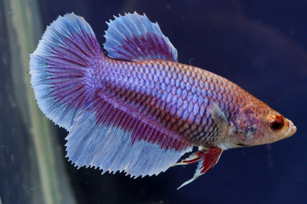 A 71 Imported Purple Butterfly Halfmoon Female Betta Fish Betta Fish Betta Fish