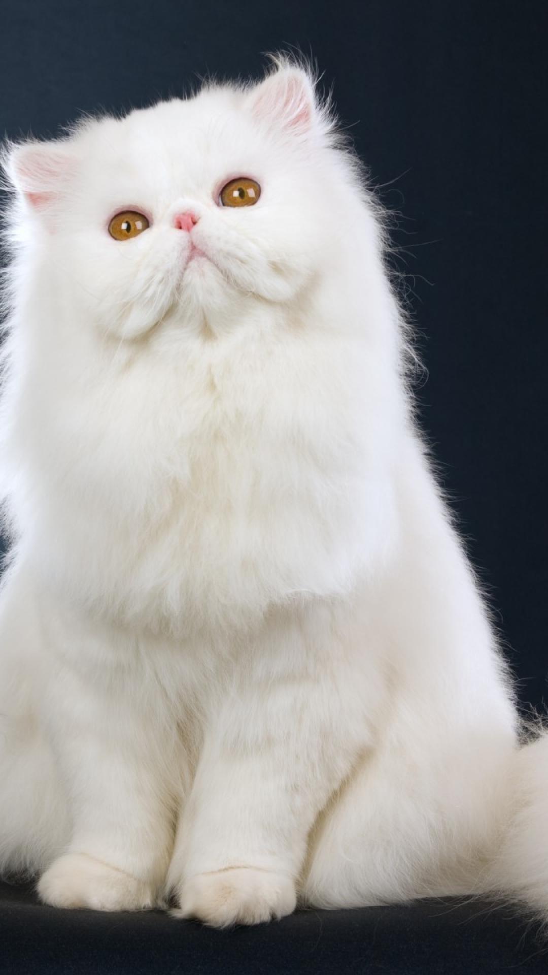 Low Resolution Persian Cat Cat breeds, Cats, Persian cat