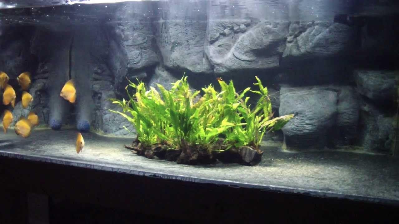 How To Order Fish Online Discus Aquarium Fish Tank Freshwater Aquarium