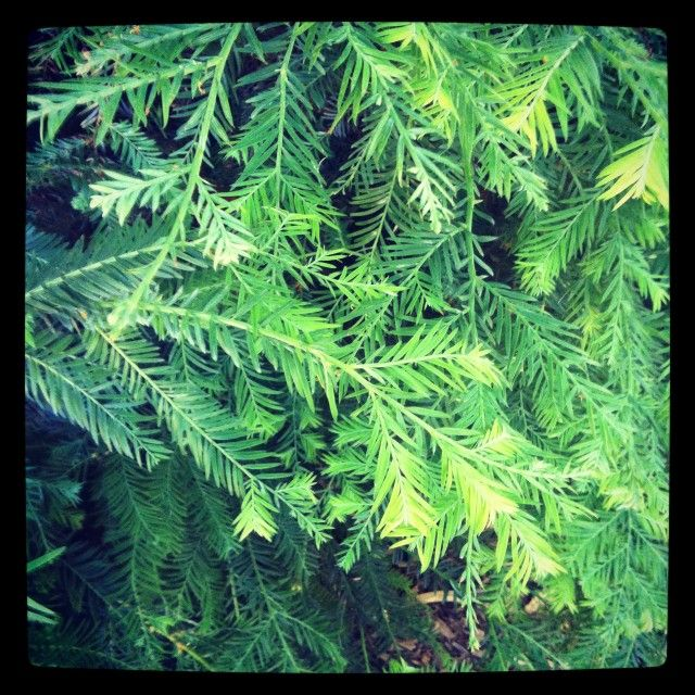 gathering and processing conifers