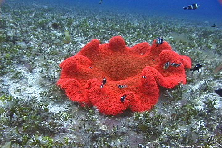 Haddon S Carpet Anemone Anemone Ocean Creatures Ocean Animals