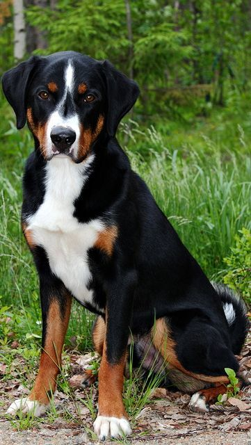Appenzeller Sennenhund Are A Popular Example Of The Text Book Look Up For American Grammar Dog Dog Breeds Entlebucher Mountain Dog