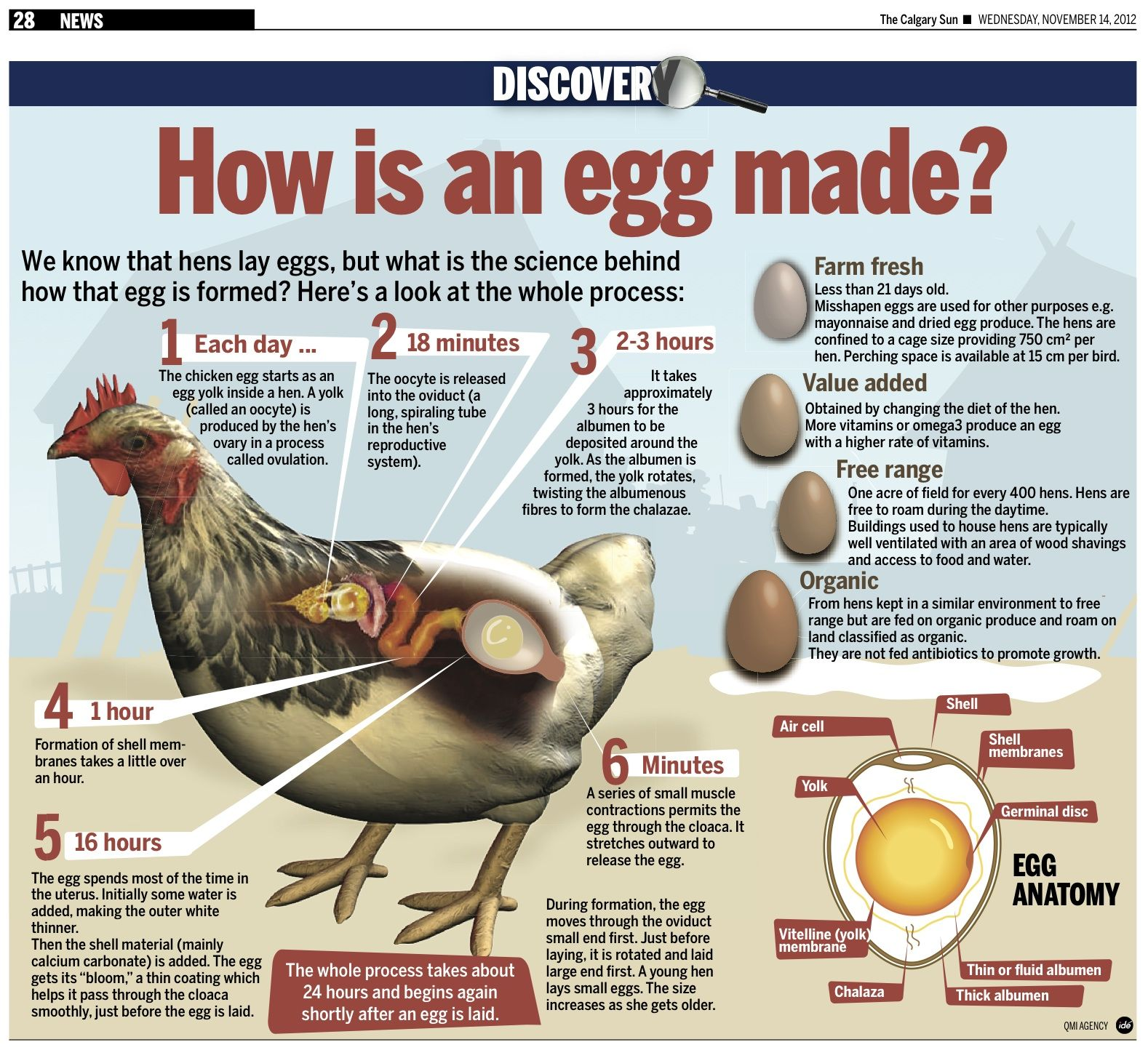 We know that hens lay eggs, but what is the science behind how that ...