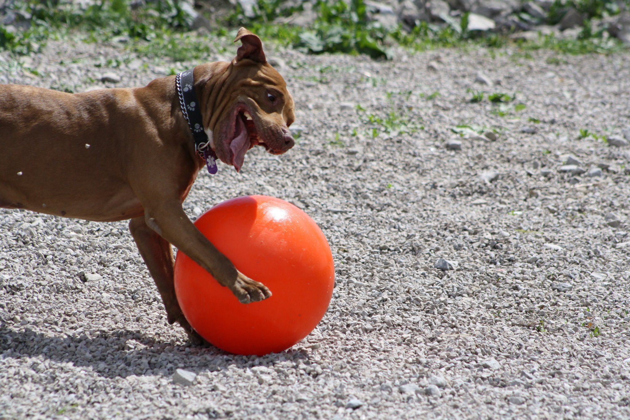 Pin On High Energy Dogs Love The Varsity Ball