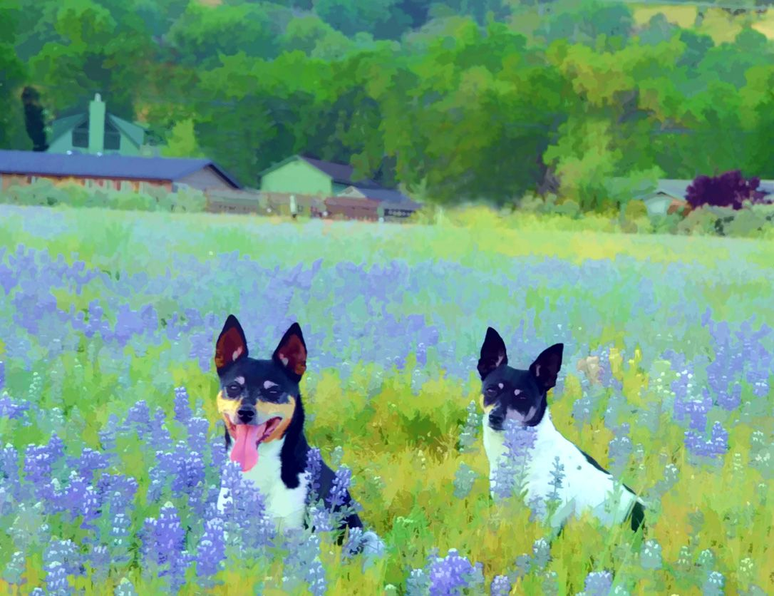 My dogs photo i took of out of of my rat terriers they are