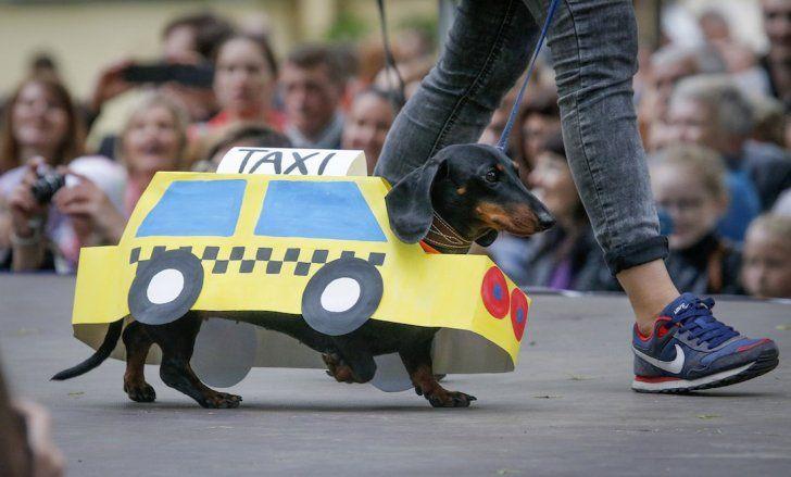 Uber für dachshunde: Daxi!