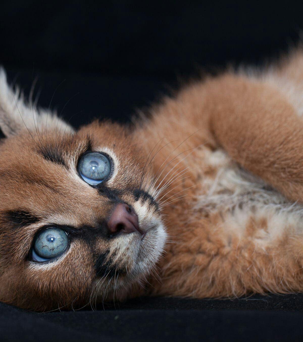 Tulsa On Cute Animals Cute Cats Kittens Cat Species