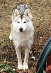 Lost Light Grey White Female Siberian Husky Named Esma Esma