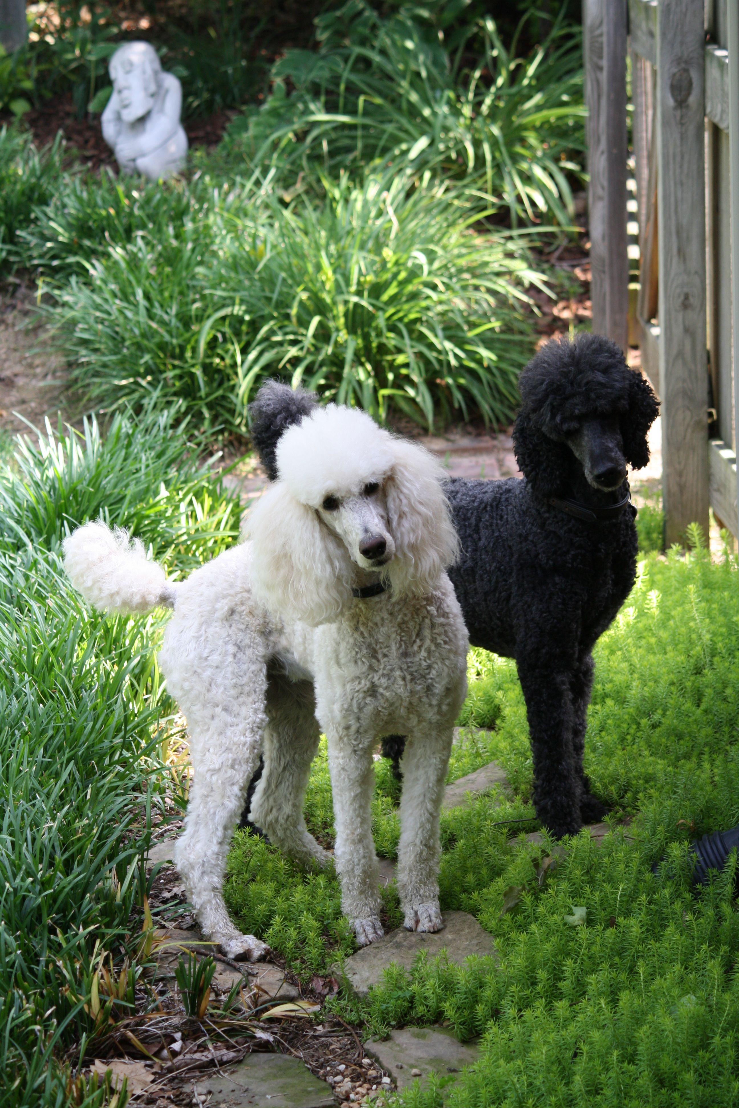 Stella And Carley My Two Pretty Girls Poodle Dog Standard