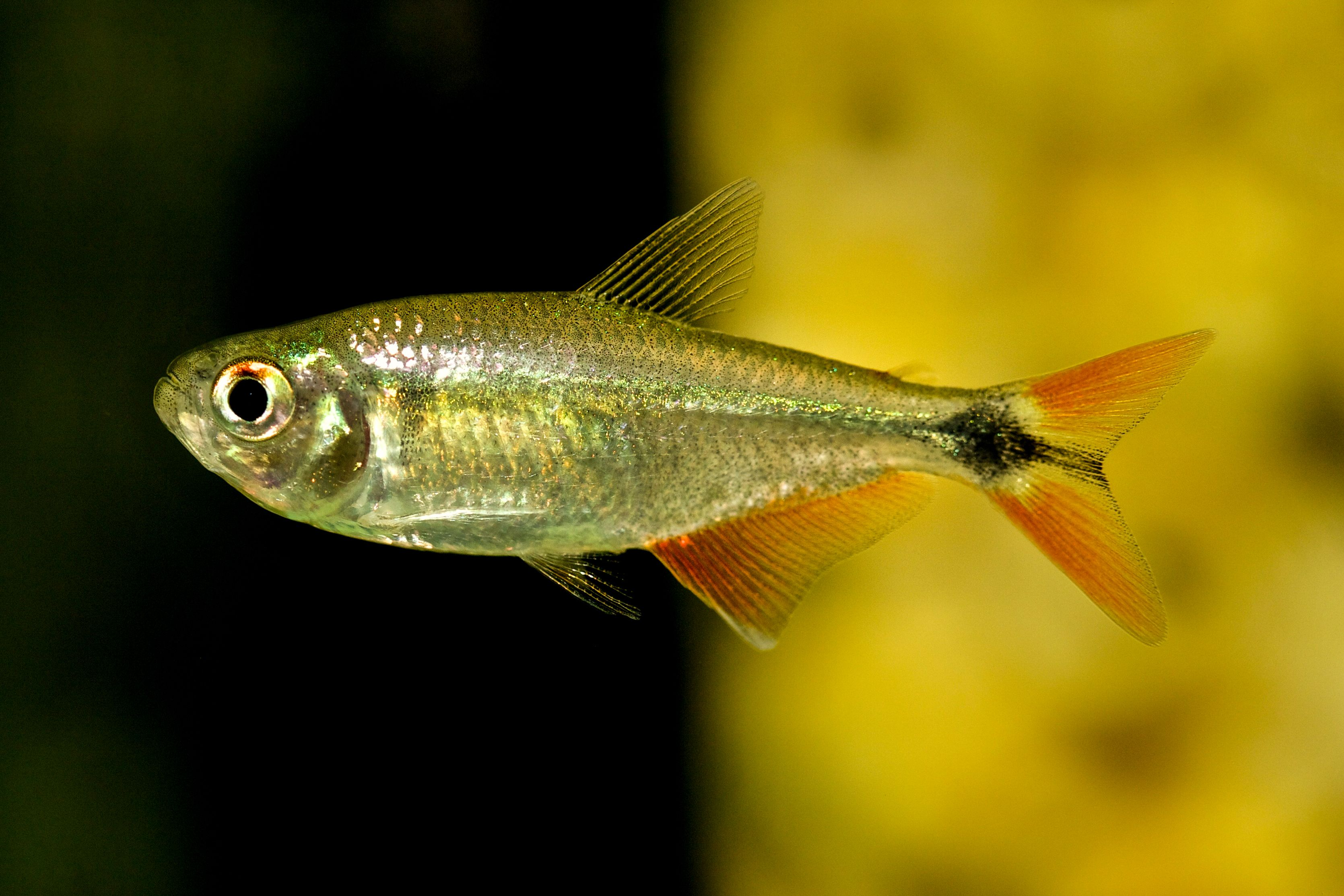 Hyphessobrycon Anistsi Buenos Aires Tetra Fish Tank Fish Pet Pictures
