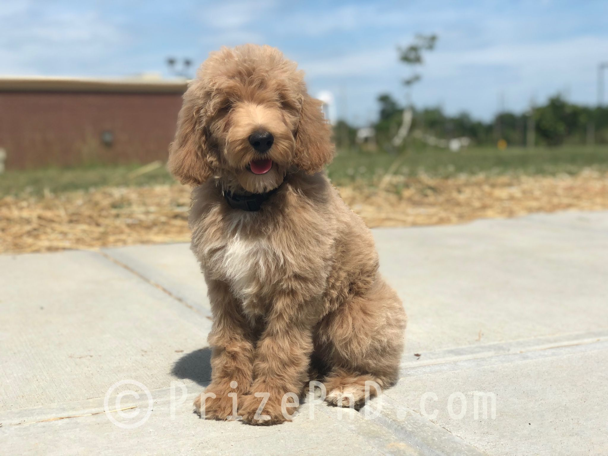 Irishdoodle puppy irish doodle puppies doodle puppy