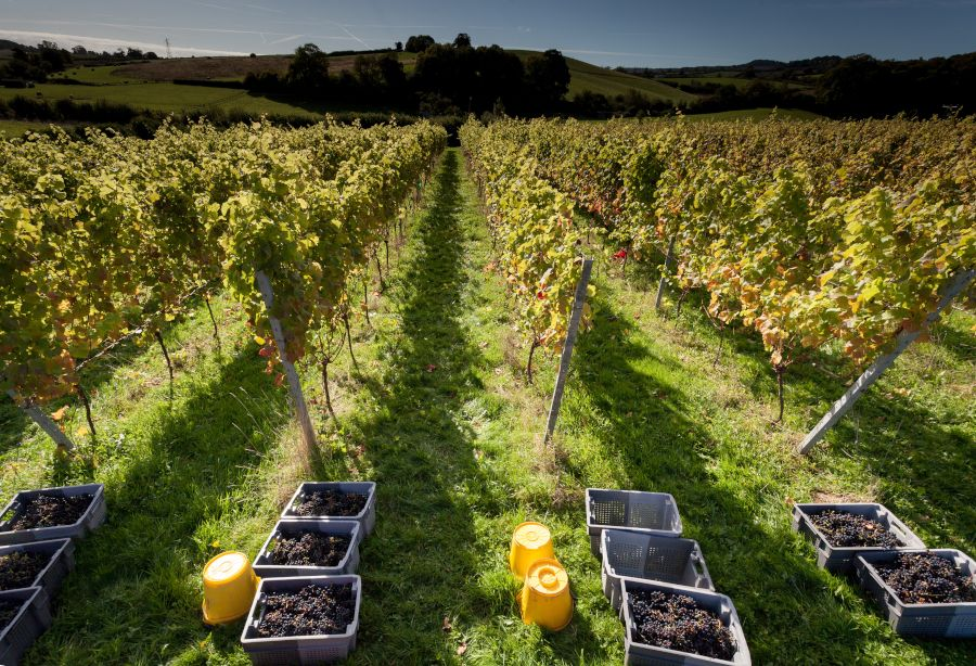 Harvest at Brickhosue Vineyard Wine tasting, Wedding