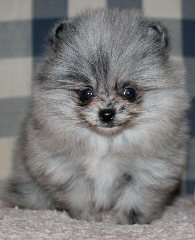 Blue Merle Pomeranian Dogs Puppies Dog Puppy Pup Pom Pom ...