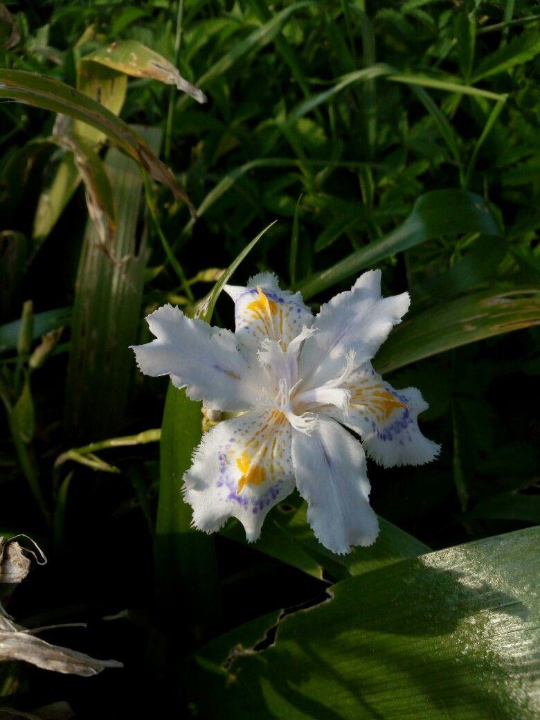 Iris giapponese