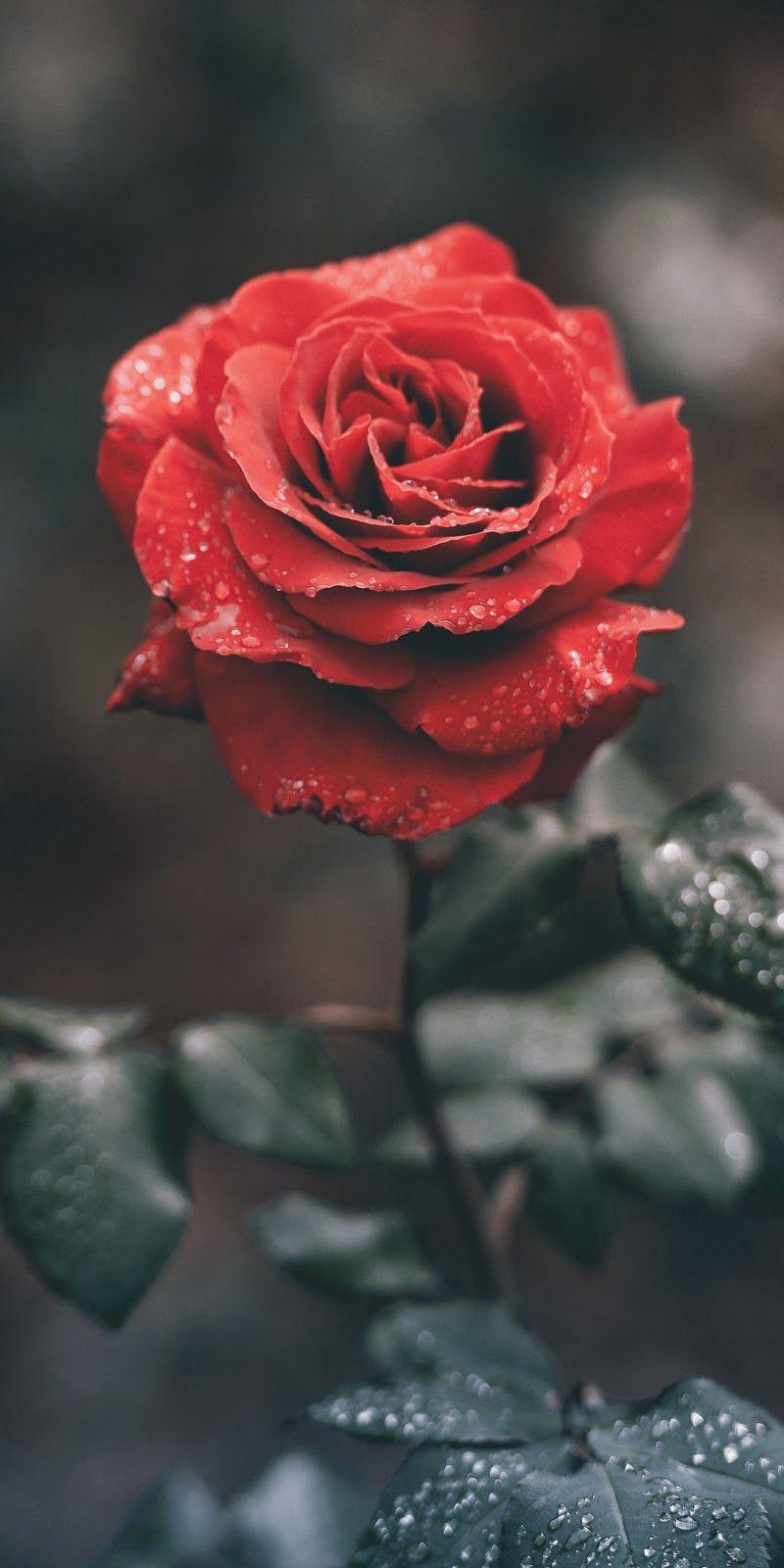 Pin By Itsg1va Ananthavel On Florzinhas Red Roses Wallpaper Wallpaper Iphone Roses Flower Phone Wallpaper