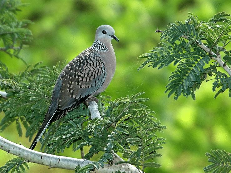 Mengenal Ciri Khas Burung Tekukur Biasa Dan Perilakunya Makanan Burung Burung Burung Cantik