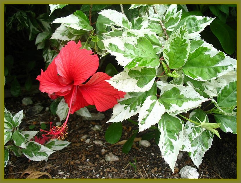 Snow Queen Tropical Hibiscus Live Plant Variegated Green White