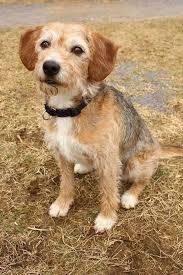Image Result For Wire Fox Terrier Beagle Mix Beagle Mix Wire