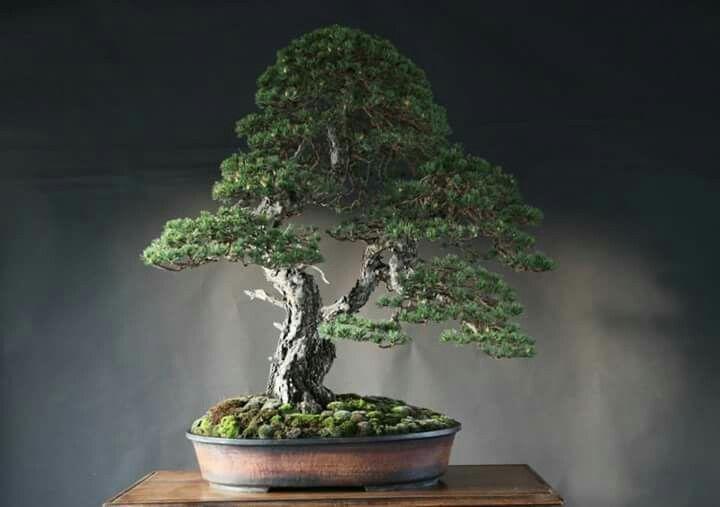 Bonsai Haus árbol pinus sylvestris 2014 diseño salvatore liporace foto