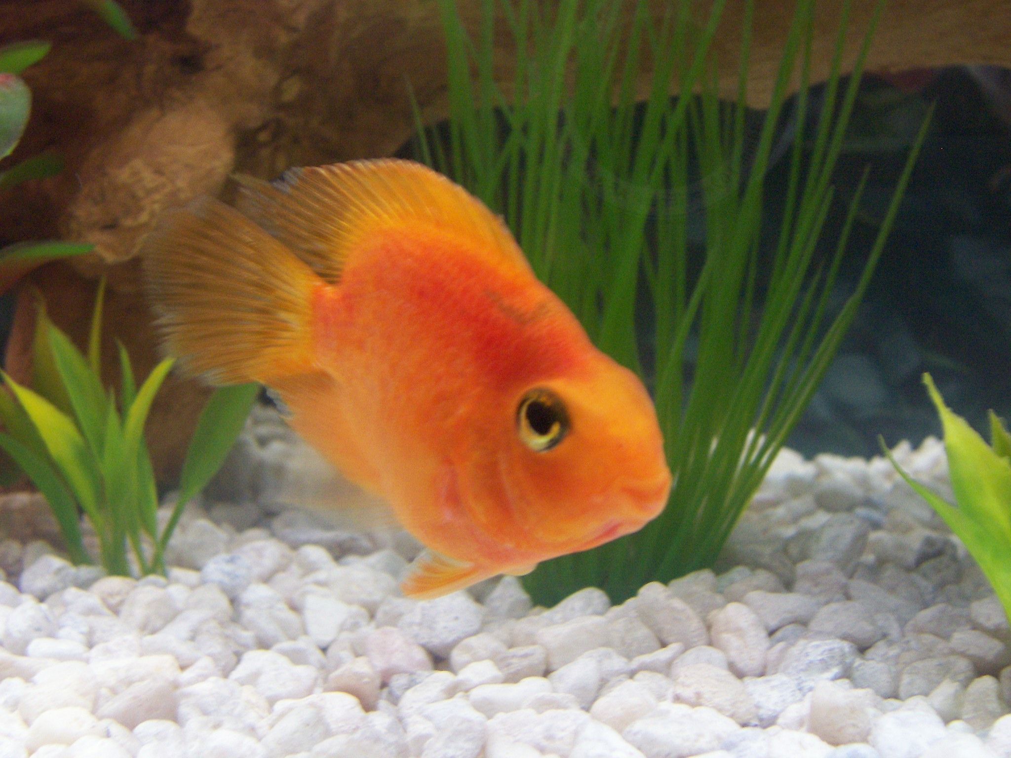 Blood parrot cichlid i 39 ve got one of these little guys for Parrot fish freshwater