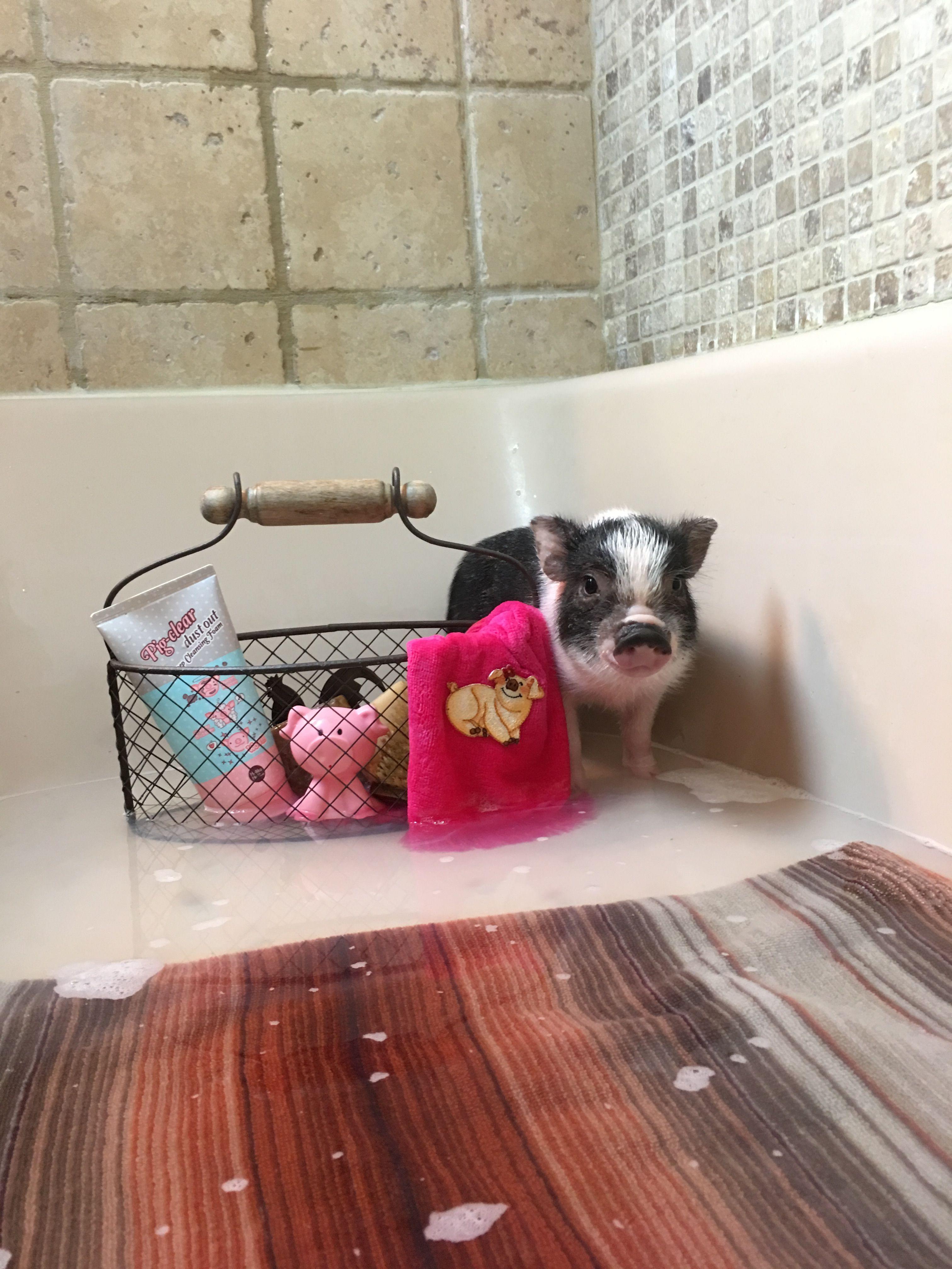 Www Oinkoinkminipigs Com Mini Pigs Cute Piglets Miniature Pigs