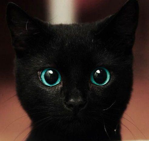 Assez photographie chat noir, yeux bleu | CHATS | Pinterest | Yeux bleus  JB58