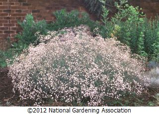 Gypsophila Paniculata Common Name S Baby S Breath Plants Hgtv Garden Babys Breath