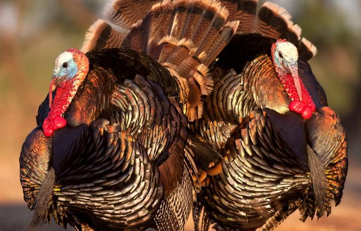 How to get your turkey hunting grand slam on public land