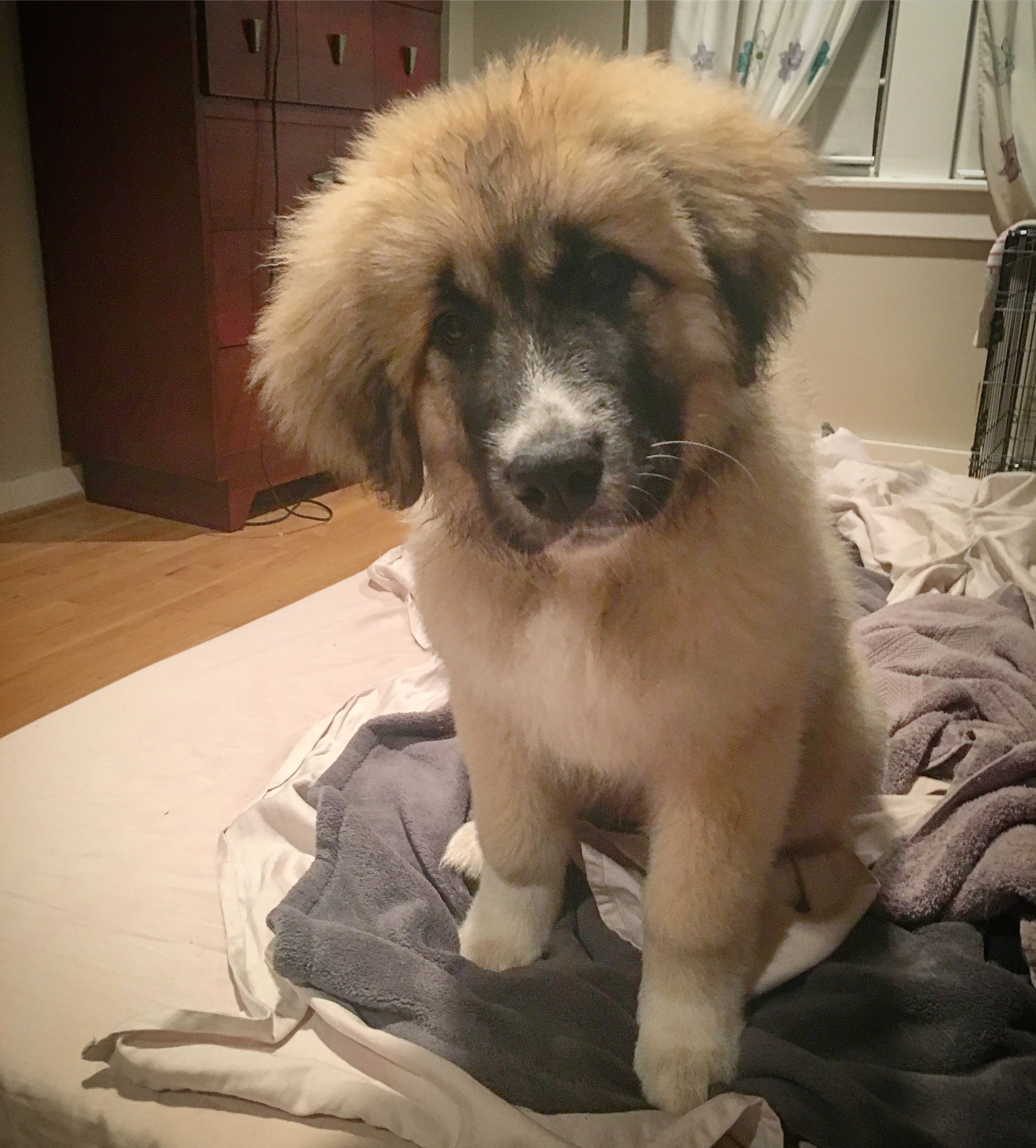 After Bath Cuteness Great Pyrenees And Caucasian Shepherd Mix Is