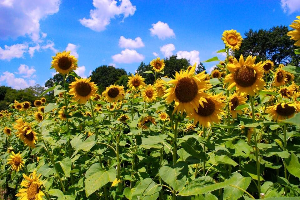 There's A 50Acre Sunflower Farm In That's Just As