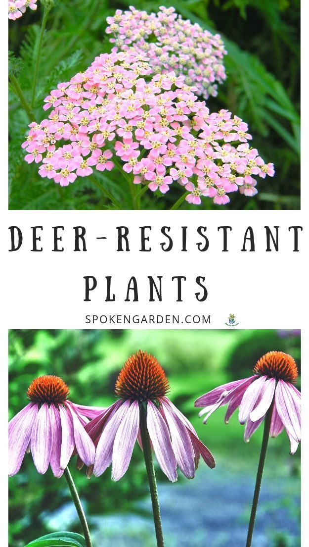What Plants are DeerResistant   DIY Garden Minute Ep  82 is part of Deer resistant garden, Deer resistant plants, Deer resistant landscaping, Deer resistant flowers, Garden pests, Deer proof plants - Are deer eating everything in your garden and you need plants that are deer resistant  Listen to Spoken Garden's DIY Garden Minute to learn more!