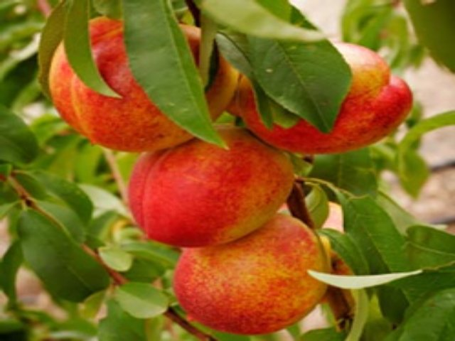 Tn Tree Nurseries Cavalier Nectarine 41 99 Http Www Tnnursery