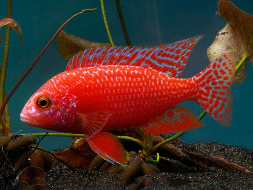 Aulonocara Sp Strawberry In 2020 Cichlids Tropical Fish Cichlid Fish