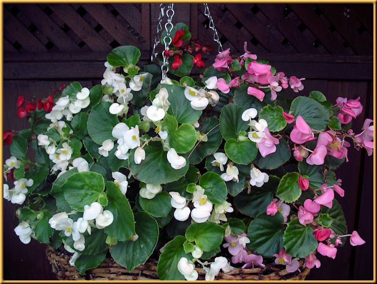 Angel Wing Begonia Out Front It S Huge My Very Favorite Flower For The Porch It Is A Nonstop Bloomer And Show Shade Plants Garden Containers Unusual Plants