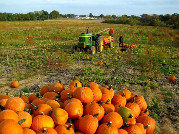 Pumpkin fields | pumpkin picking finding the perfect pumpkin in acres and acres of ...