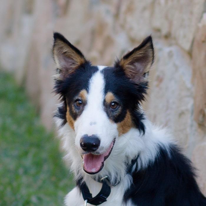 Adopt Dash On Border Collie Rescue Collie Dogs