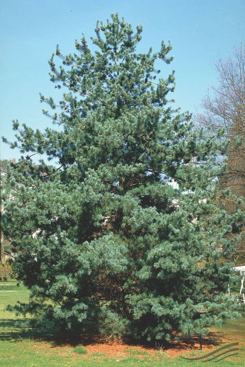 Pinus Parviflora Tempelhof Plants Conifers Tree