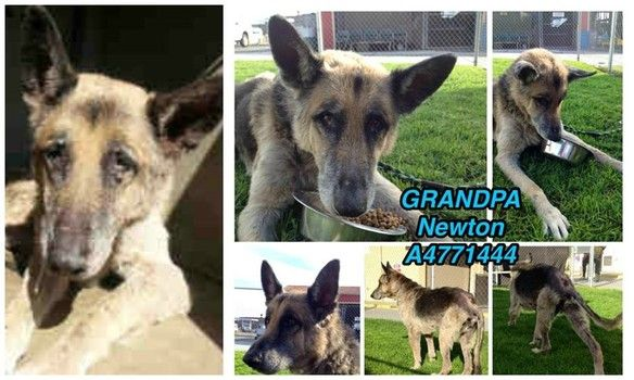 Elderly German Shepherd Waiting To Be Rescued Animal Shelter Adoption Dog Adoption Animals