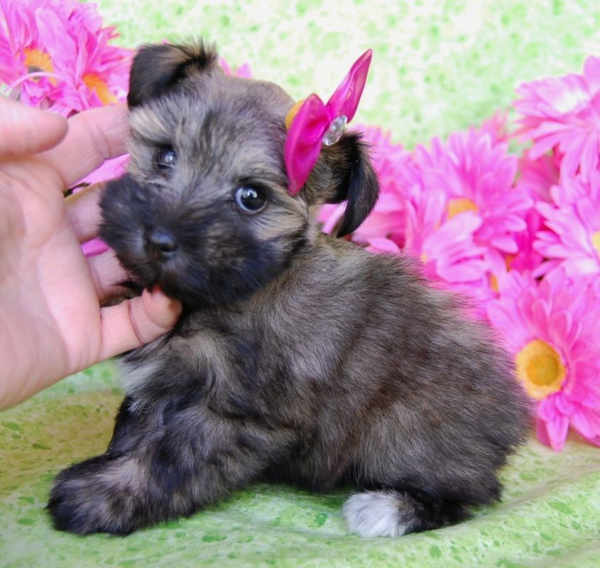 Miniature Toy Teacup Schnauzers For Sale Toy Teacup Miniature Schnauzer Puppies Miniature Schnauzer Puppies Schnauzer Puppy Teacup Schnauzer