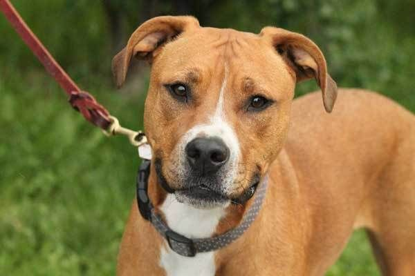 All About The Pitbull Boxer Mix Facts/ Information