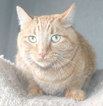 I'm Tillamook, an adorable orange tabby cat available for adoption at Simply Cats in Boise, ID. Re-pin this and help me find a forever home!