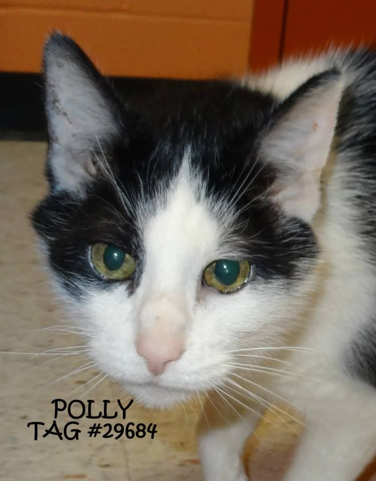UPDATE-ADOPTED! AVAILABLE NOW! STRAY Tag# 29684 Name is Polly  Female-unsure of spay  Older adult  Sweet girl...very outgoing!  https://www.facebook.com/photo.php?fbid=633548586715964&set=a.633547963382693.1073741999.267166810020812&type=3&theater