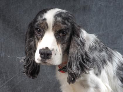 Adopt Steele A Lovely 5 Months 19 Days Dog Available For Adoption At Petango Com Steele Is A Spaniel English Cocker A With Images English Cocker Puppy Adoption Spaniel