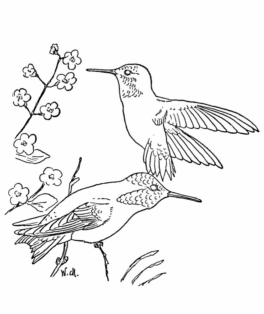 Free Printable Hummingbird Coloring Pages For Kids   Hummingbird ...
